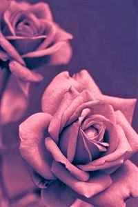 Beautiful Pink Rose Closeup iPhone 4s wallpaper