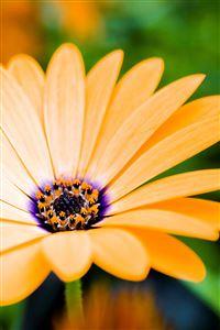 Yellow Daisy Closeup iPhone 4s wallpaper