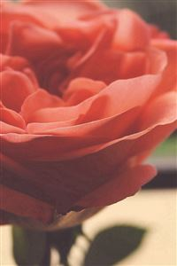 Rose Flower Nature Home Love Art iPhone 4s wallpaper