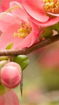 Flower Blossom Pink Branch Bright iPhone 4s wallpaper