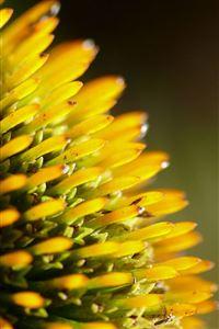 Yellow Flower Closeup iPhone 4s wallpaper