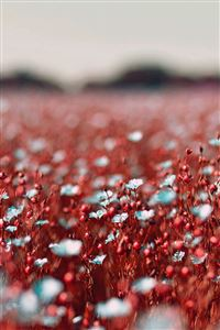 Field Red Cosmos Flower Spring Nature Beautiful iPhone 4s wallpaper