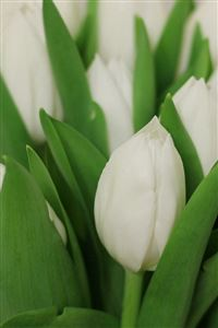 Tulips Flowers Bouquet White iPhone 4s wallpaper