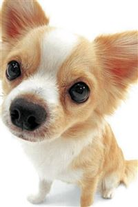 Cute Lovely Pet Puppy Dog Animal iPhone 4s wallpaper