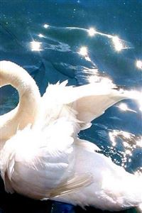 Bright White Swan Swimming Clear Pool iPhone 4s wallpaper