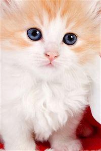 Cute Lovely Christmas Hat Kitten iPhone 4s wallpaper