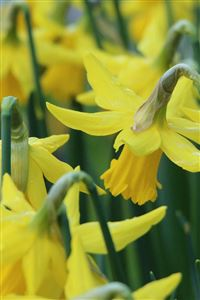 Narcissus Flowers Buds Stems iPhone 4s wallpaper