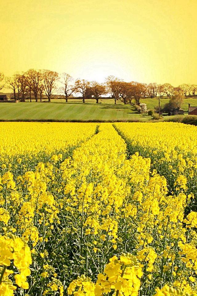 Golden Canola Flowers iPhone 4s wallpaper