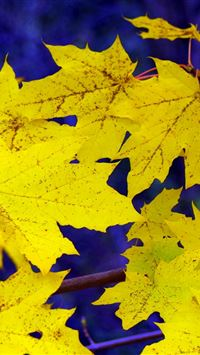 Maple Leaves Fall Fallen Yellow iPhone 4s wallpaper