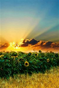 Natural Scenery Sunflowers iPhone 4s wallpaper