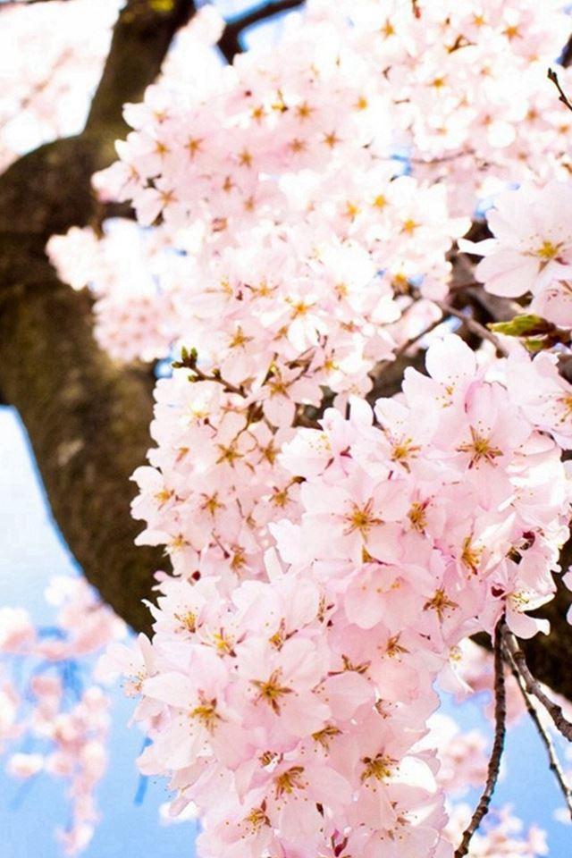 Bright Sunny Flowers Blossom Tree iPhone 4s wallpaper