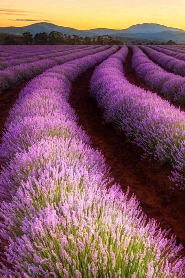 Lavender Farming Land Wonderful Fariy iPhone 4s wallpaper
