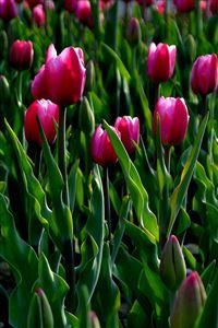 Nature Wild Tulips Garden Field iPhone 4s wallpaper