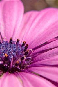 Pink Flower iPhone 4s wallpaper