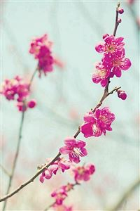 Peach Blossom Spring Nature Branch iPhone 4s wallpaper