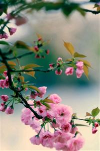 Nature Spring Plum Branch Bokeh Blur iPhone 4s wallpaper
