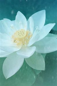 Pure Beautiful Lotus Flower Macro iPhone 4s wallpaper