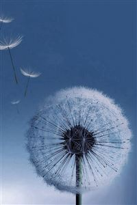 Pure Bright Dandelion Blowing Macro iPhone 4s wallpaper