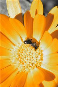 Flower Bee Orange Pollination iPhone 4s wallpaper