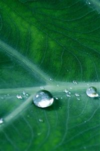 Leaf Water Spring Green Nature Rain iPhone 4s wallpaper