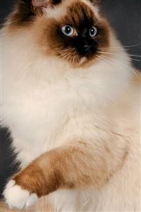 Ragdoll Cat Breed Color Fluffy iPhone 4s wallpaper