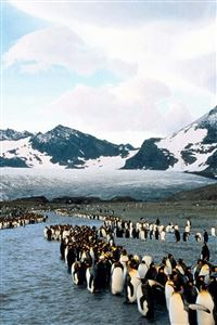 Penguins North Mountains Flock Colony iPhone 4s wallpaper