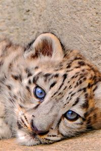 Snow Leopard Cub Lie Look Sadness iPhone 4s wallpaper