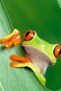 Curious Tree Frog Funny iPhone 4s wallpaper