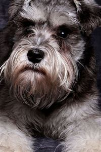 Miniature Schnauzer Cute Dog Animal iPhone 4s wallpaper
