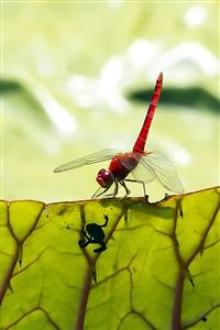 Red Dragonfly iPhone 4s wallpaper