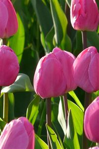 Nature Pink Tulips Flowers Garden iPhone 4s wallpaper