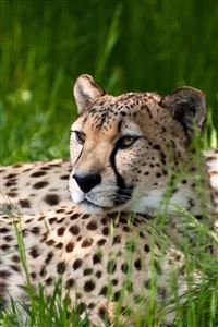Leopard iPhone 4s wallpaper