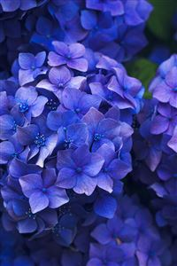 Hydrangea iPhone 4s wallpaper