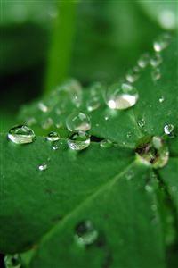Dew Drops iPhone 4s wallpaper
