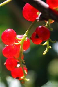 Currants iPhone 4s wallpaper
