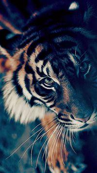 Bengal Tiger Closeup iPhone 6(s)~8(s) wallpaper
