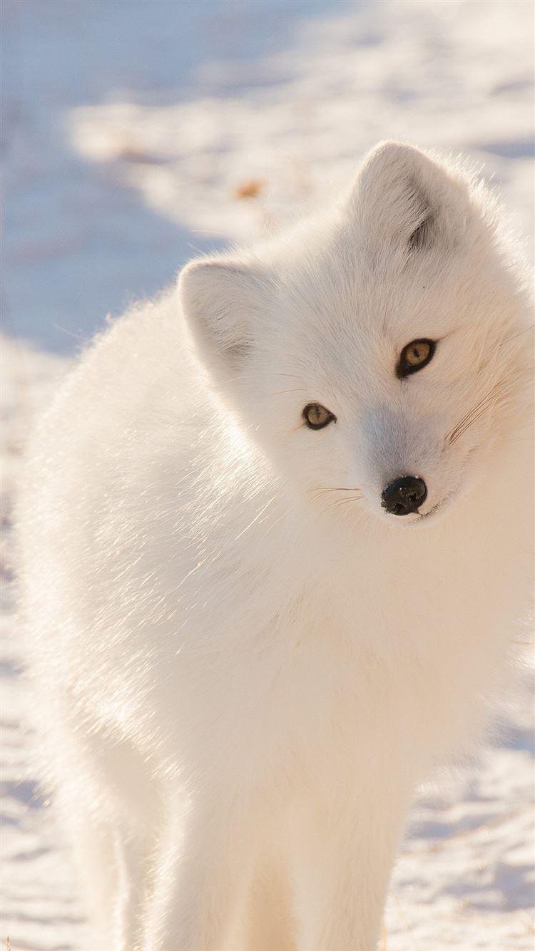 Winter Animal Fox White iPhone 8 wallpaper