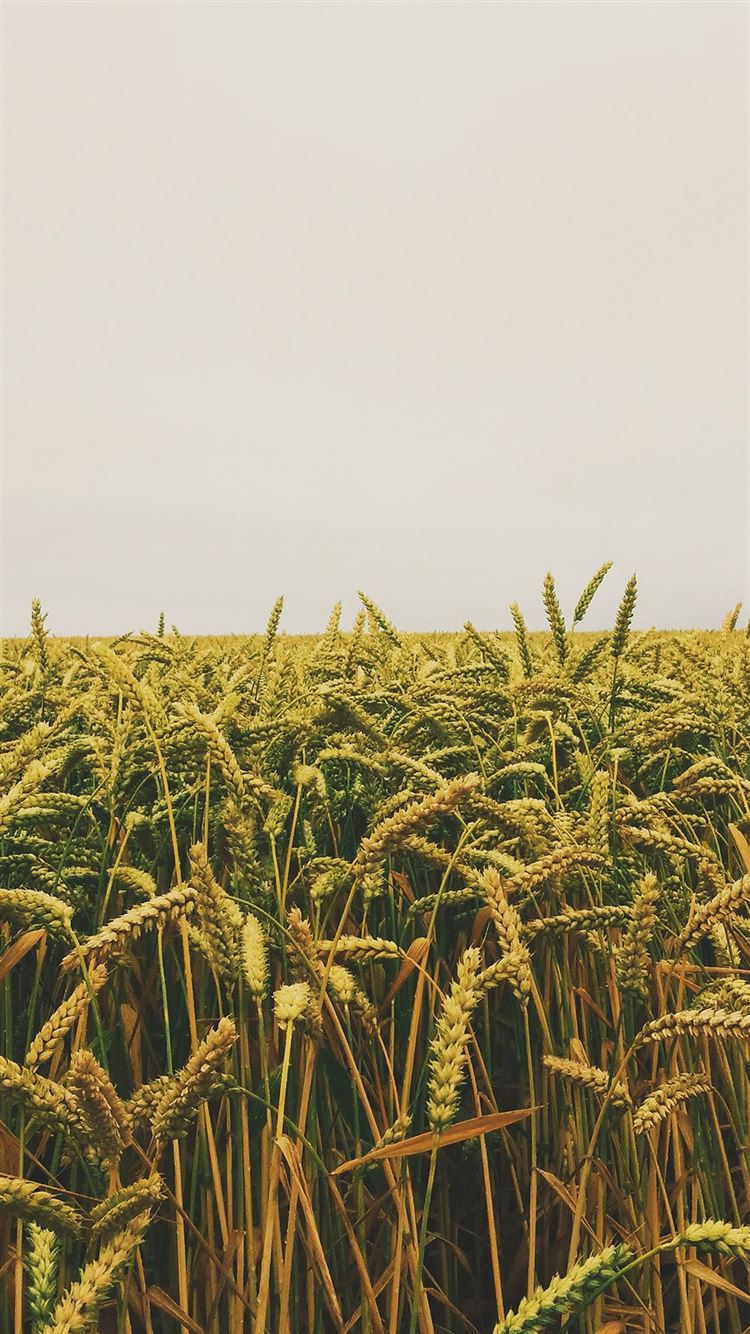 Flower Reed Field Rice Nature Green Yellow iPhone 8 wallpaper