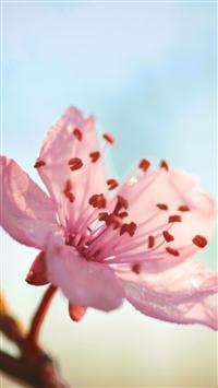 809 0 Flower Bloom Branch Spring IPhone 8 Wallpaper