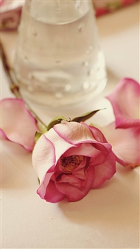 Pure Rose On The Table iPhone 8 wallpaper