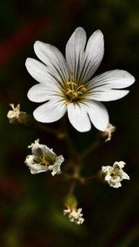 Nature Dark White Bloomy Flower Plant Macro iPhone 8 wallpaper