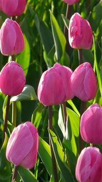 Nature Pink Tulips Flowers Garden iPhone 8 wallpaper