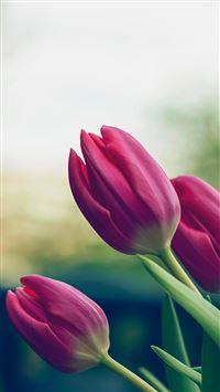 Tulip Pure Beautiful Blur Lanscape iPhone 8 wallpaper