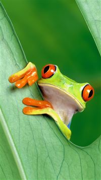 Curious Tree Frog Funny iPhone 8 wallpaper