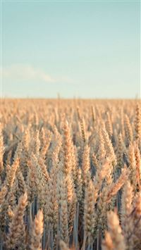 Rye Field Nature iPhone 8 wallpaper
