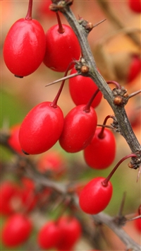 Berries branch tree iPhone 8 wallpaper