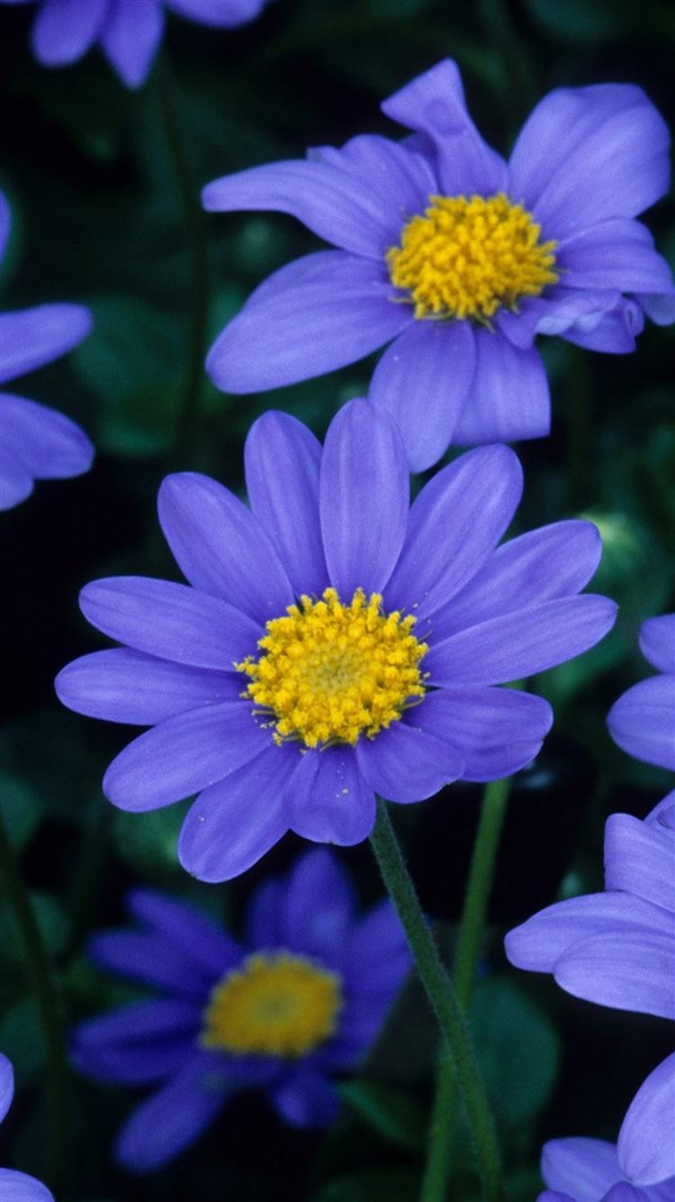 Flowers blue petals pollen close-up iPhone 8 wallpaper
