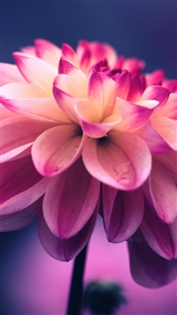 Flower pink petals bud close-up iPhone 8 wallpaper