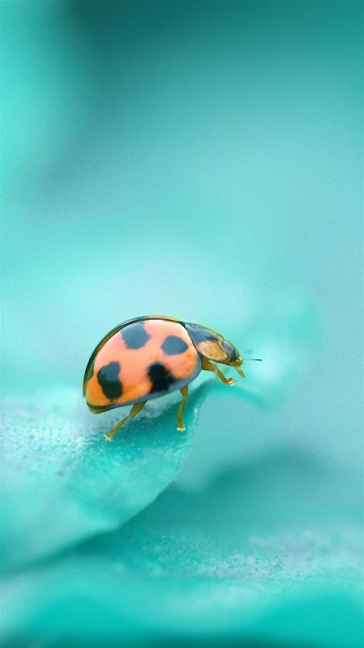 Ladybug surface insect iPhone 8 wallpaper