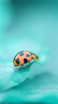 Ladybug surface insect iPhone wallpaper
